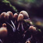 wild mushroom powder