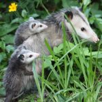 Opossums: Unsung Heroes in the Fight Against Ticks and Lyme Disease
